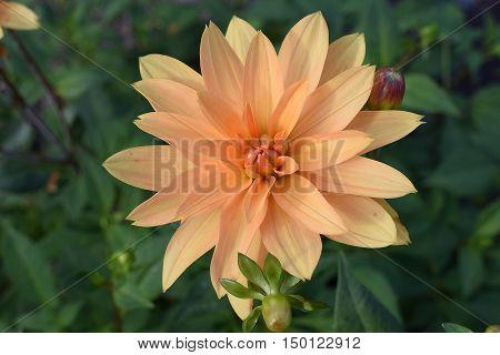 Dahlia Brandaris, a beautiful pastel color flower closeup.