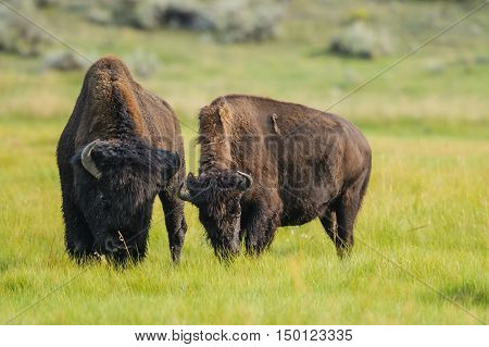 Bison Of Yellowstone National Park, Usa