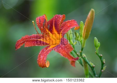 Beautiful red daylily graded on a bed