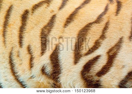 Real Tiger Fur Texture in the big zoo