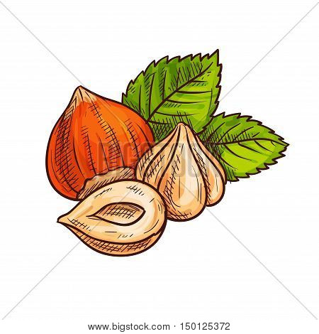 Ripe hazelnut with green leaves sketch of fresh and roasted forest nuts. Healthy dessert, vegetarian snack, food packaging design