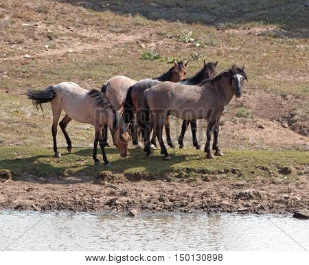 Wild Horse Herd at watering hole in the Pryor Mountain Wild Horse Range in Montana - Wyoming US