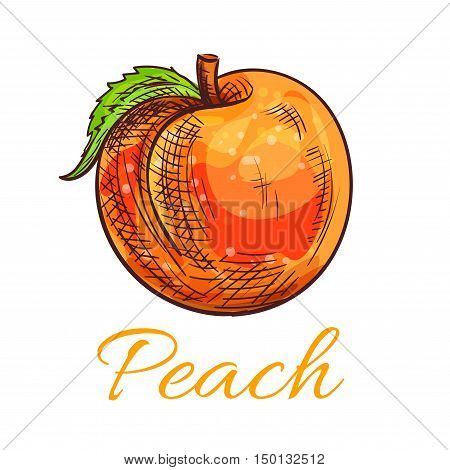 Fresh peach fruit sketch. Ripe orange peach with green leaf for juice packaging, vegetarian fruity dessert, farm market design