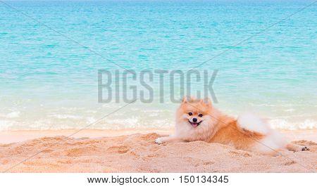 Pomeranian dog lying on seacoast Phuket Thailand.