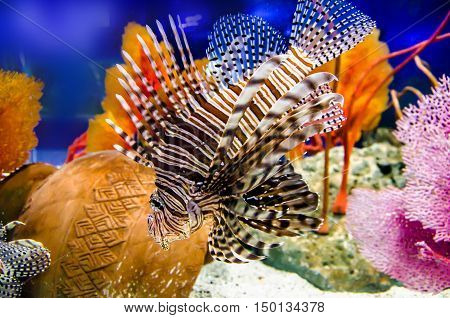 Lionfish Turkeyfish Firefish in sea water .