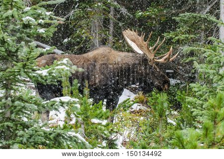 Wild Canadian Moose (alces Alces)