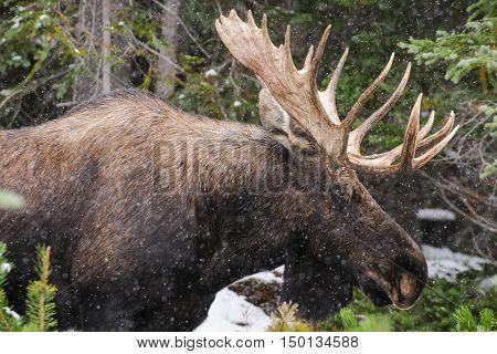 Wild Canadian Moose (alces Alces)