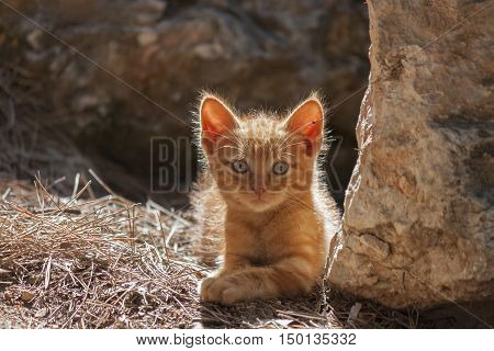 little fluffy and red kitten on a natural background