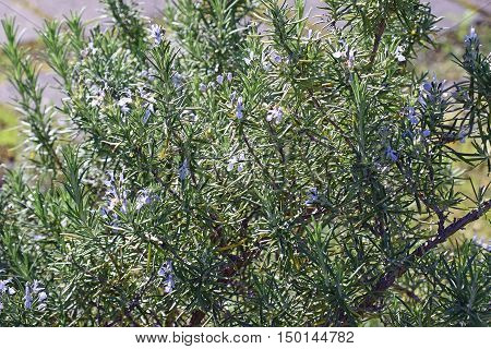 Rosemary, Rosmarinus officinalis. Close up of plant.