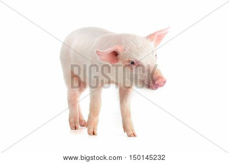 pink piglet on a white background. studio