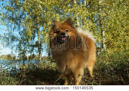 The Dog-man's Best Friend, The German Spitz Is Beautiful