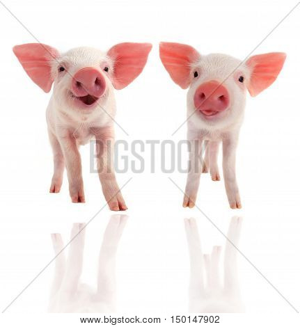 smile two piglet on a white background