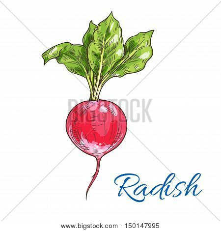Fresh radish vegetable with green leaves isolated sketch. Juicy ripe red radish for vegetarian healthy food, salad recipe, organic farm design