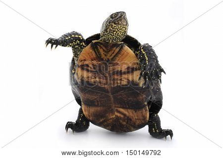 the a turtle standing on hinder legs