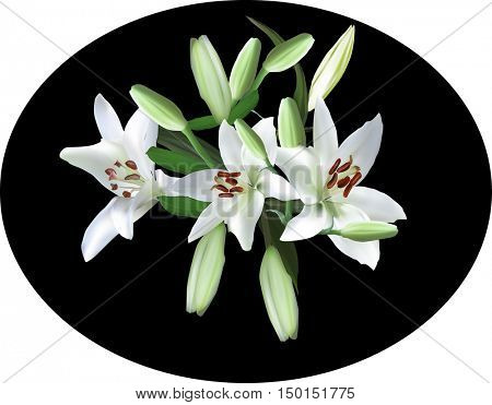 illustration with light lily flowers isolated on black background