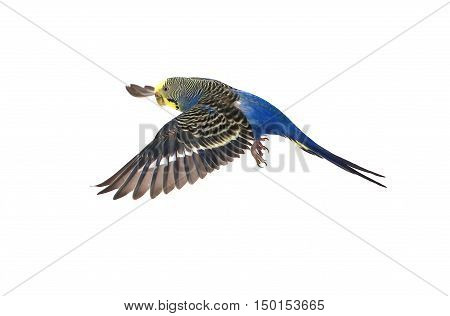 a blue budgie isolated on white background