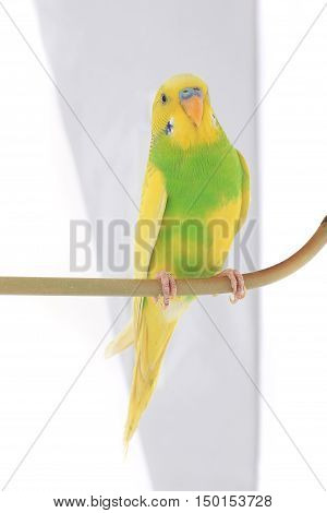 the yellow budgie isolated on white background