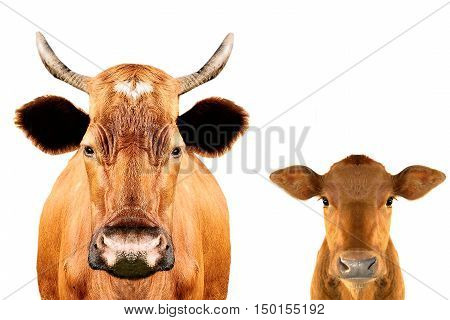 portrait calf and calf isolated on white background