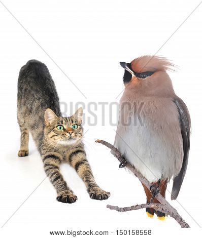cat and Bohemian Waxwing on a white background
