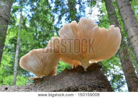 Oyster mushrooms or Pleurotus ostreatus in natural habitat growing on beech stump in the middle of mountain forest view from below