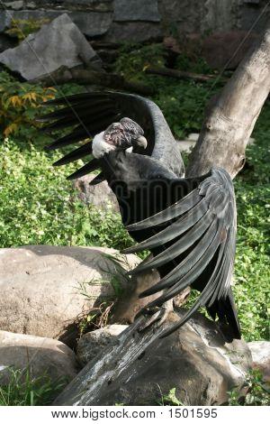 Condor On The Stone.