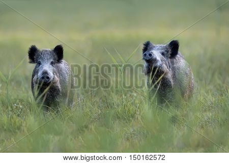 Wild boars in a clearing in the wild