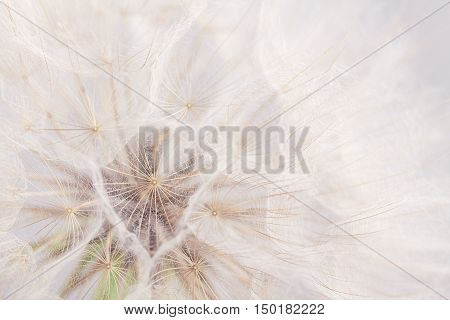 Extreme Closeup Dandelion Flower Background