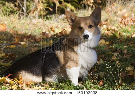 a tricolored welsh corgi sitting among maple leaves