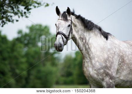 beautiful grey horse portrait outdoors in summer