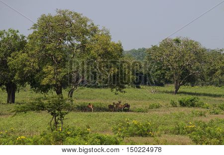 A small herd of deer resting under a tree during a hot afternoon. Yala, Sri Lanka