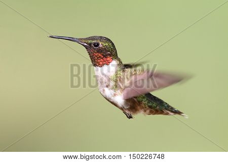 Ruby-throated Hummingbird (archilochus colubris) in flight on green