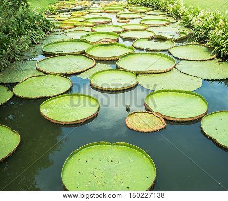 Green big lotus leaf on the water.
