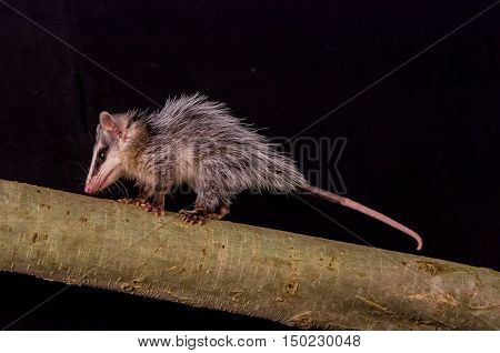 andean white eared opossum on a branch zarigueya over black background
