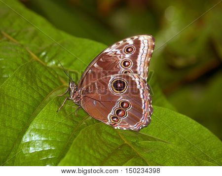 Emperor butterfly sitting on the leaf - Tawny Owl Butterfly - Caligo memnon