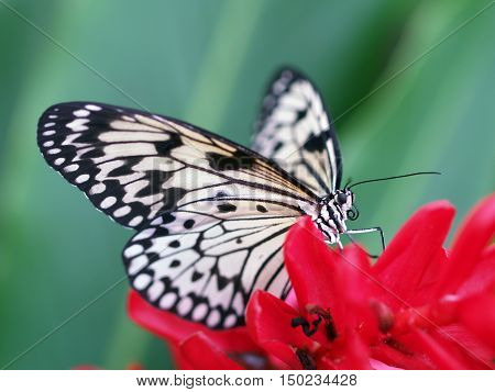 White swallowtail on the red flower - Paper kite - Idea leuconoe