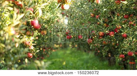 picture of a Ripe Apples in Orchard ready for harvestingMorning shot