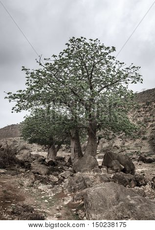 Baobab tree growing in wadi Hinna near Salalah, Oman