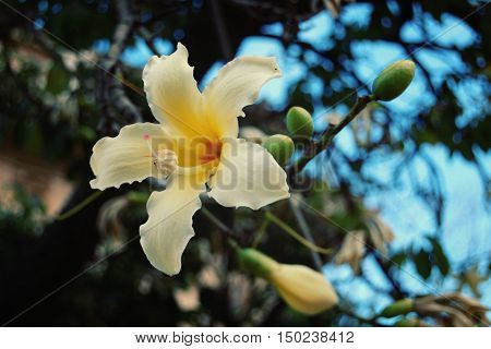 Creamy yellow lily-like flower. Aged photo. Blossoming Ceiba insignis. Retro filter. White flower of Palo Borracho in the the Palermo Botanical Garden Sicily.