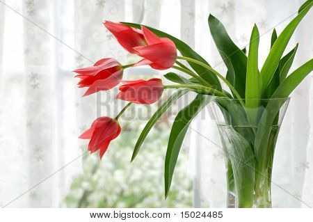 Vase of coral tulips next to a window with voile curtains.  Springtime blossoms in soft focus in the background.  Shallow dof.