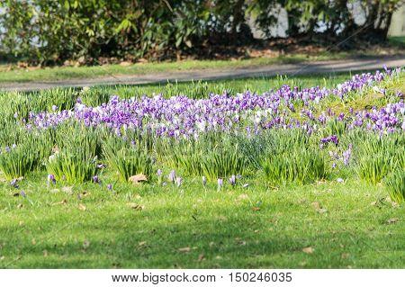 Diverse purple crocuses in spring in a meadow.