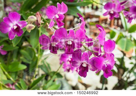 Beautiful of purple orchid flowers in garden.