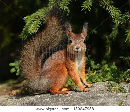 Cute red squirrel in natural forest environment