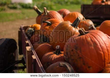 large pumpkins in a wooden wagon, out on the pumpkin farm
