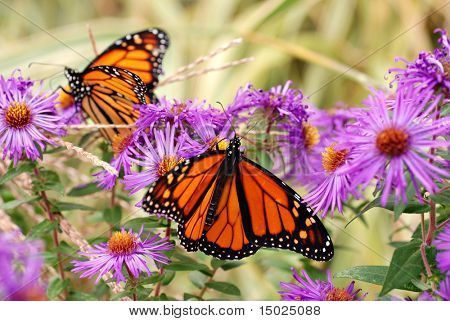 Beautiful monarch butterflies in garden of purple asters.  Soft focus background.
