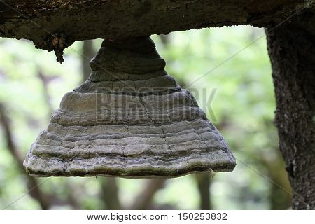 Detail of the bizarre polypore on the branch of an old beech tree