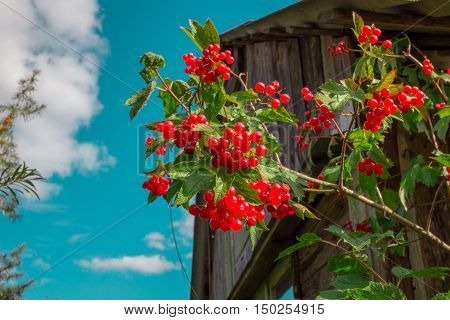 Red Berries Clusters Of Guelder Rose On Blue Sky Background