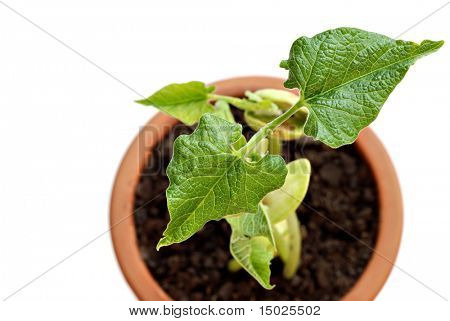 Abstract image of newly sprouted bean plant in clay pot as viewed from above.  Macro with shallow dof. Copy space included.
