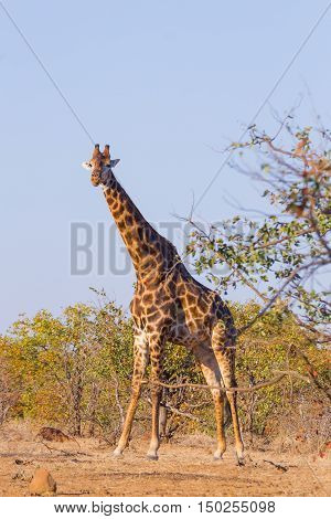 Giraffe From South Africa, Kruger National Park. Africa