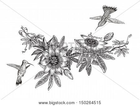 Passiflora and colibri. Vintage botanical illustration. Vector design element. Black and white color.