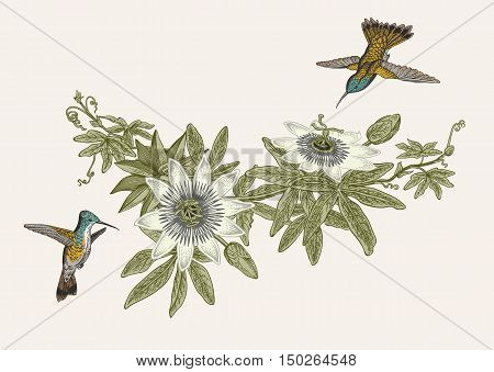 Passiflora and colibri. Vintage botanical illustration. Vector design element.